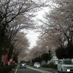 秦野の桜並木