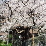 盛岡「石割桜」
