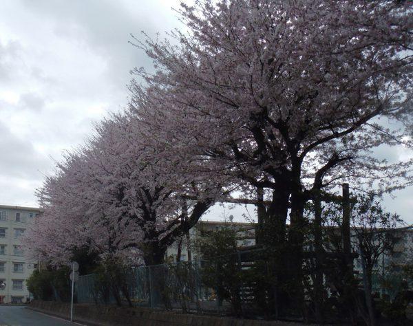 Vol.5 地元の桜2010.03
