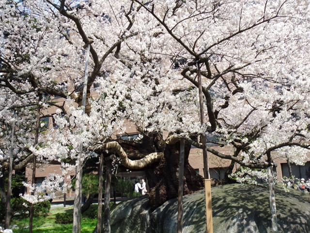 Vol.2 石割桜(岩手県盛岡市)  2010.05