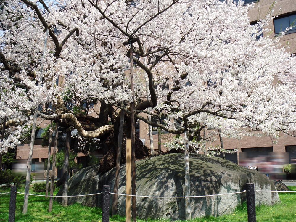 「盛岡の桜2010」