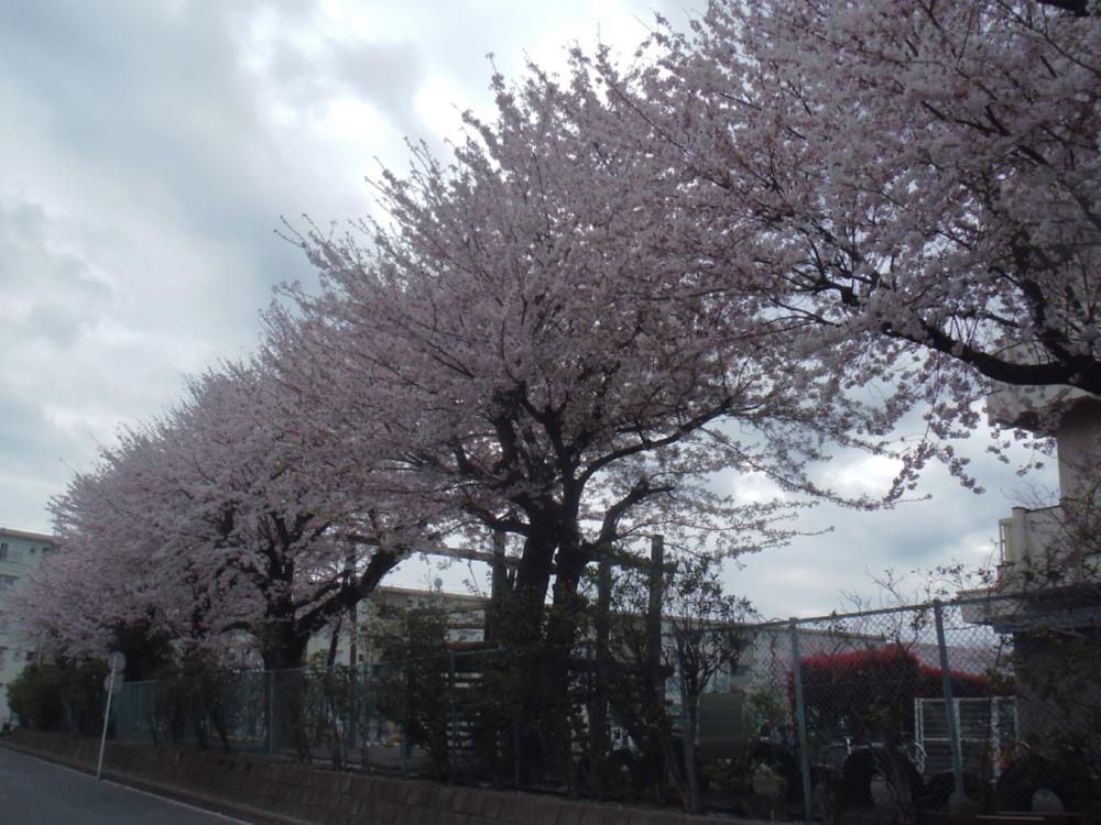 「秦野の桜」 in 2010