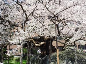 Vol.13 石割桜 <br /> (2010.5.3岩手県盛岡市)